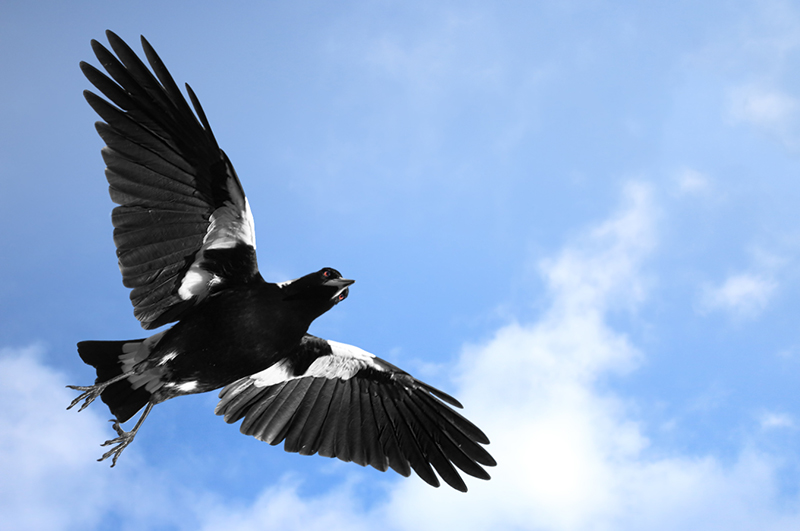 The Misunderstood Australian Magpie - How to Avoid Magpie Swooping Season