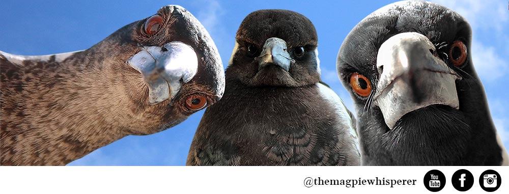 Australian Magpie 101 - The Magpie Whisperer
